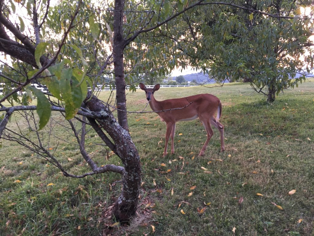 """My sister photographed Angel first seen in July after my father arrived home from the hospital.  She sent this picture to me then so I could see Daddy's """"Angel Deer"""" Stanardsville, Virginia"""
