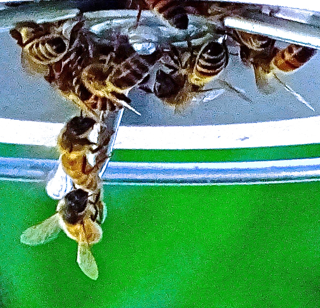 Bees conquering the hummingbird's feeder in my backyard.